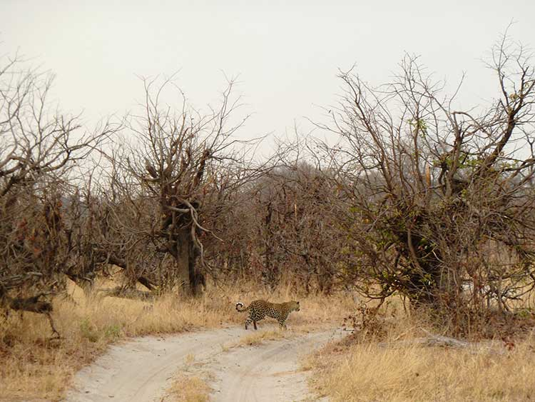 unusualtravels-leopardo2-moremi