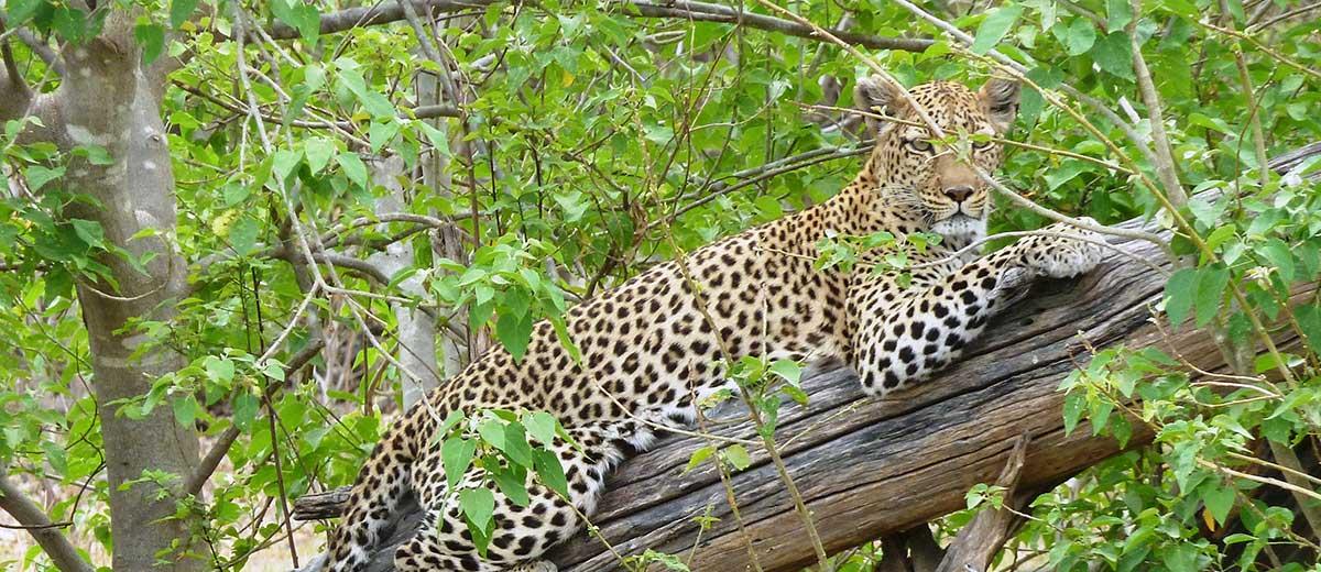 Cuando vi tres leopardos y medio en dos días y cuarto