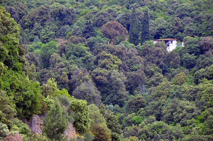 Bosque en el Monte Athos