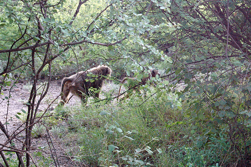babuinos Niokolo koba