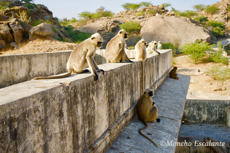 monos en Ajanpay