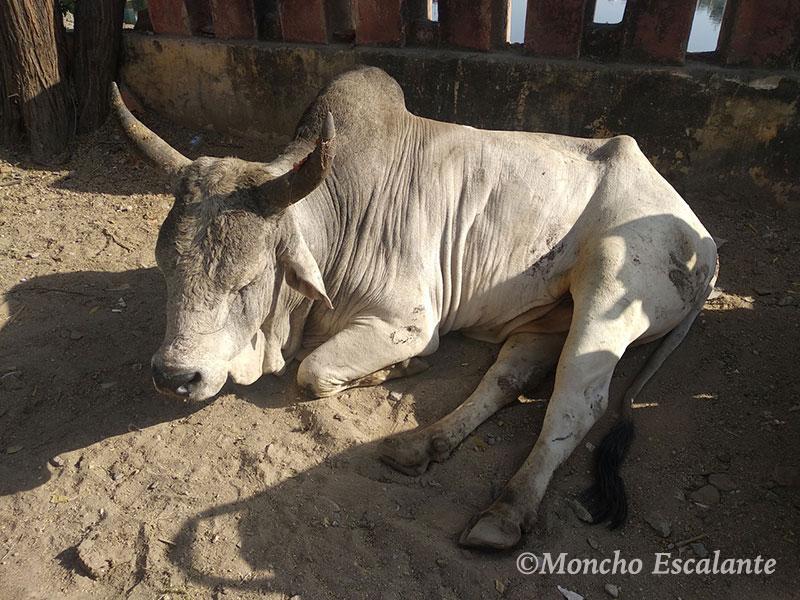 vacas en la india